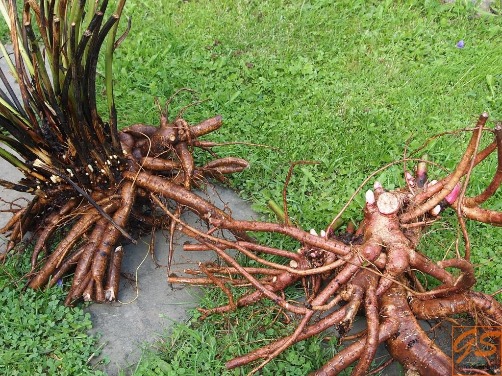 Как сажать корень пиона