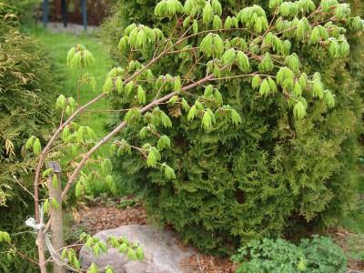 Acer pseudosieboldianum