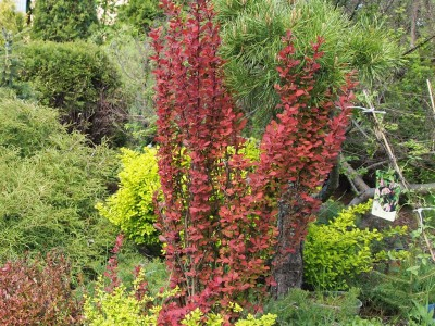 Berberis Orange rocket, Bonanza gold , Admiration
