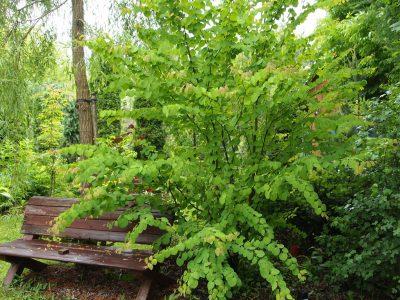 Cercidiphyllum japonicum (Багрянник японский)