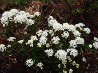 Ledum groenlandicum Compacta