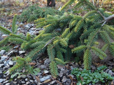 Picea abies Gold Drift