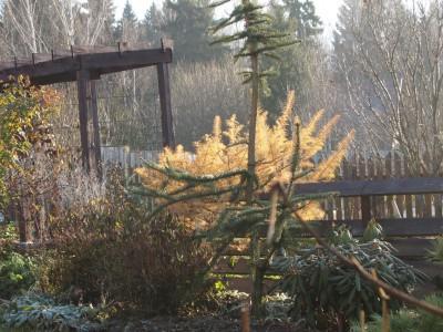 Picea abies virgata