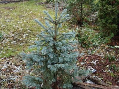 Picea engelmannii Blue Softie