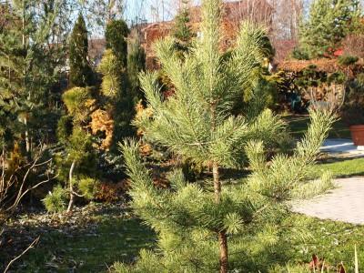 Pinus sylvestris Candlelight