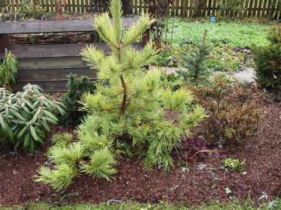 Pinus sylvestris Wintergold
