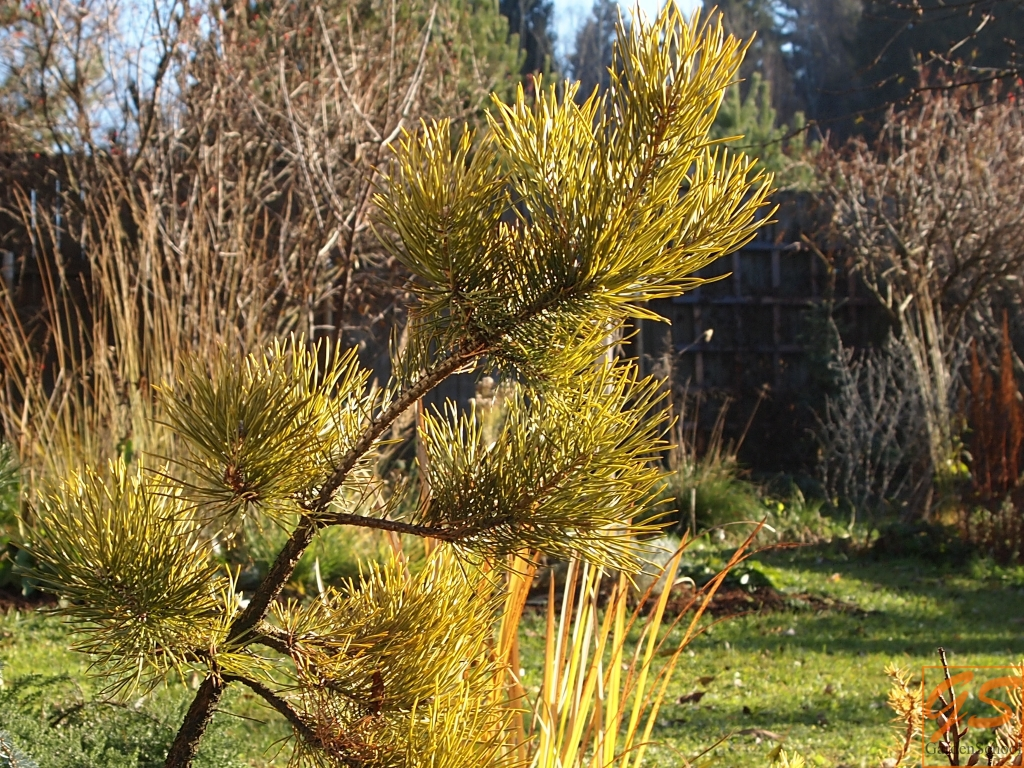 Pinus sylvestris Yakutsk
