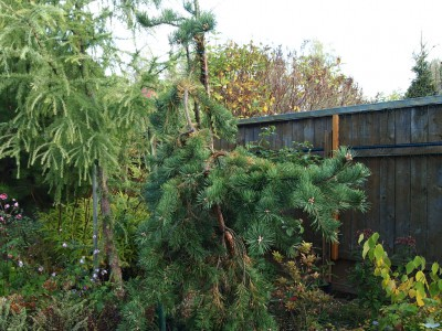 Pinus sylvestris pendula