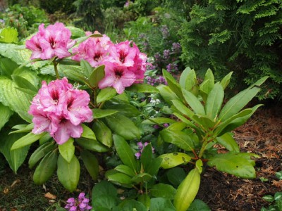 Rhododendron Hachmann's Charmant