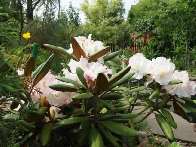 Rhododendron Ken Janeck