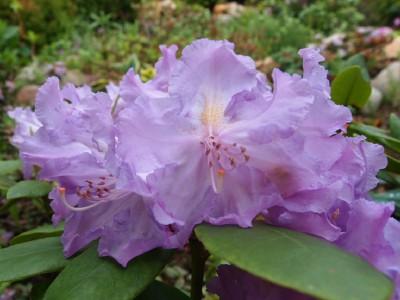 Rhododendron Lavanda