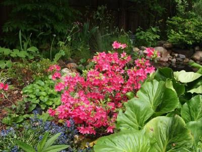 Rhododendron Rozalind