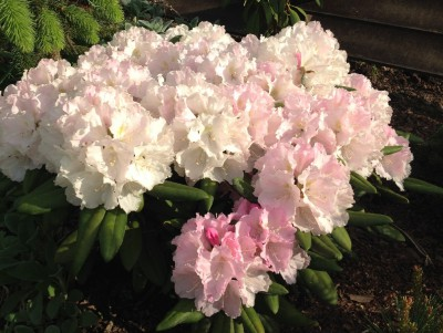 Rhododendron Silver lady