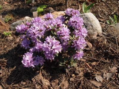 Rhododendron impeditum Buchlovice