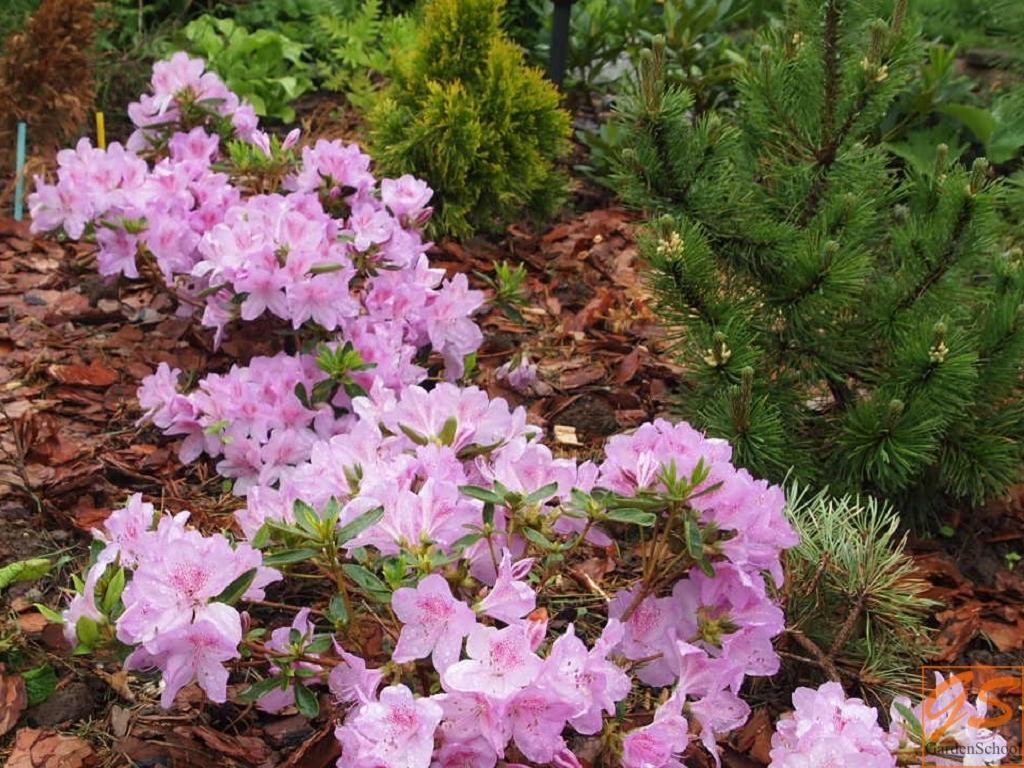 Rhododendron obtusum Ledikanense