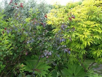 Sambucus racemosa Plumosa-Aurea