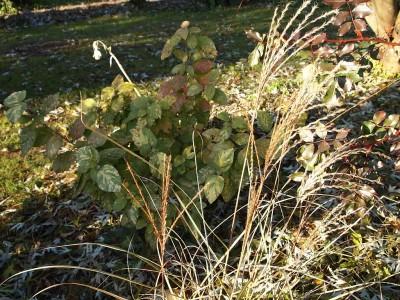 Viburnum lantana Aureo-variegatum