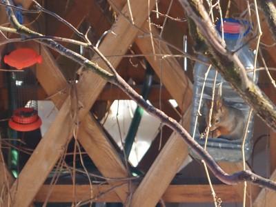 Белка в кормушке для птиц