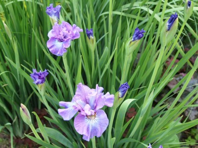 Iris sibirica Rosy Bows