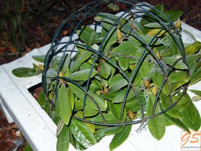 Защищаем рододендроны