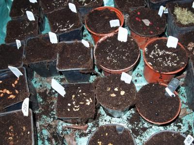 Подзимние посевы семян в горшки