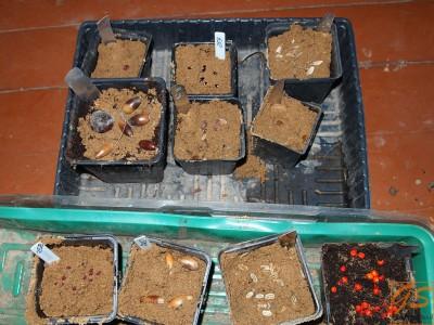 Стратификация семян в погребе