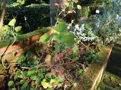 Pelargoniia cuculiatum