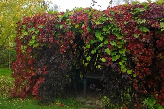 Пергола увитая виноградом