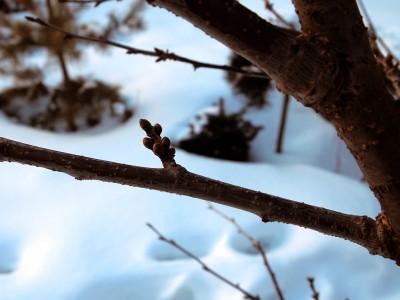 Букетная веточка на древовидной вишне
