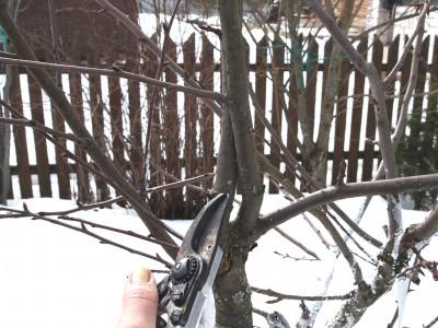 Перекрещивающиеся ветви груши