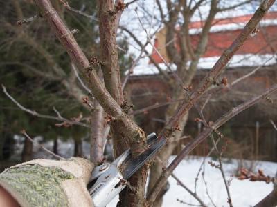 Удаление одной из ветвей вишни