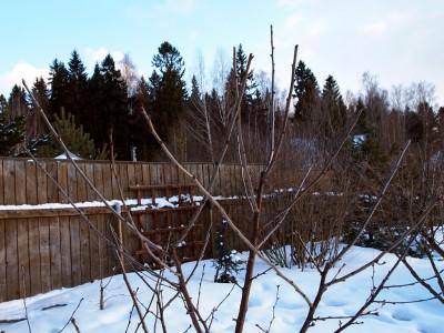 Укорачивание однолетних ветвей дюка