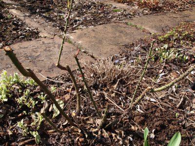 Английская роза L.D. Braithwaite после обрезки