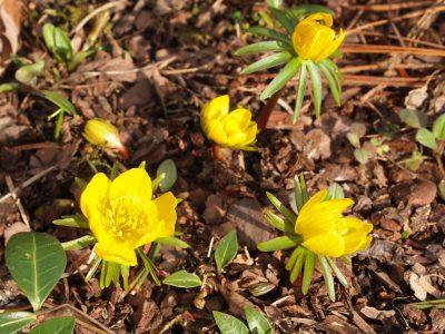 Eranthis hyemalis (Весенник зимний)