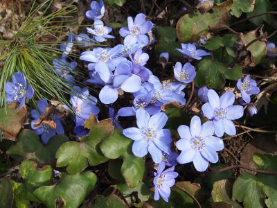 Hepatica transilvanica Blue Jewel (Печеночница трансильванская Blue Jewel)