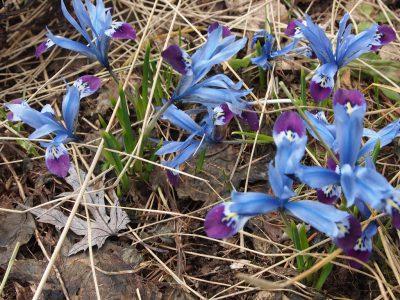 Iris reticulata Halkis (Иридодиктиум сетчатый Halkis)
