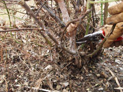 Омолаживание розы Motcart – удаление старого побега целиком