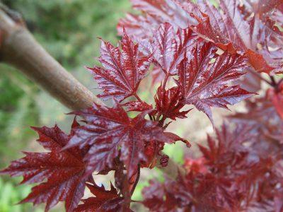 Acer platanoides Нolata