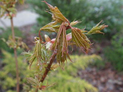 Acer platanoides Beskid