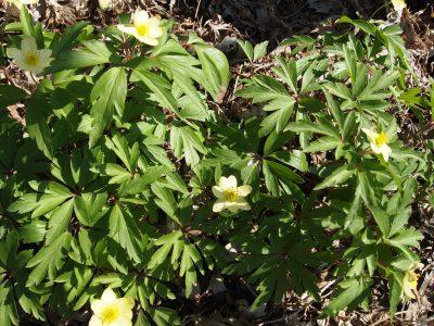 Anemone lipsiensis (Анемона липская)
