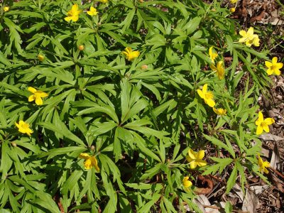 Anemone ranunculoides (Анемона лютичная)