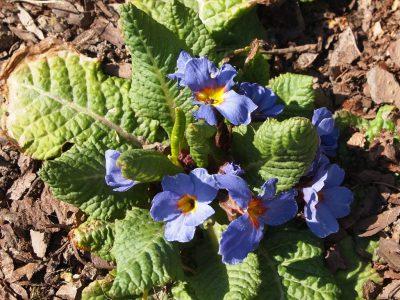 Primula acaulis Casquet seeds (Примула обыкновенная серия Casquet)