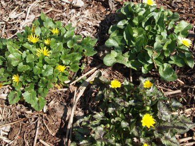 Ranunculus ficaria sorts (Чистяк настоящий Три сорта)