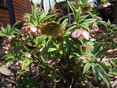 Helleborus orientalis spring morning (Морозник восточный Spring Morning)