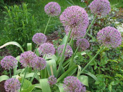Allium Globus (Лук Globus)