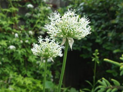 Allium White Giant (Лук White Giant)