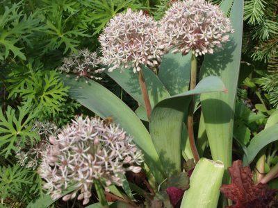 Allium karataviense (Лук каратавский)