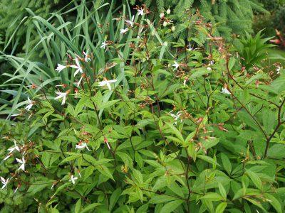 Gillenia trifoliata (Гилления трехлистная)