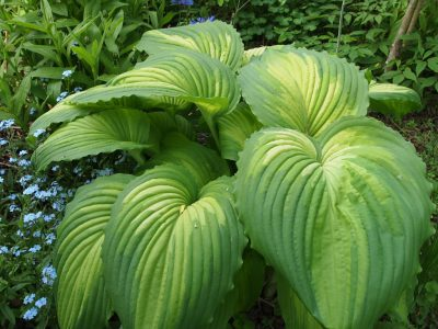 Hosta War Paint (Хоста War Paint)