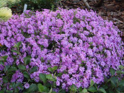 Phlox subulata Purple Beauty (Флокс шиловидный Purple Beauty)